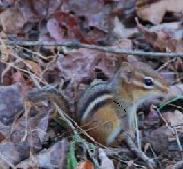 Chipmunk across the creek
